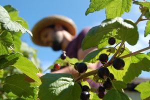 Plukke bær i hagen i Villa Dammen
